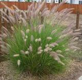 Pennisetum setaceum (P. ruppelii) Green Fountain Grass - 5 Gallon