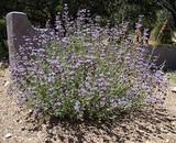Salvia clevelandii Cleveland Sage, California Blue Sage - 5 Gallon