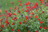 Salvia greggii 'Furman's Red' Autumn Sage 'Furman's Red' - 5 Gallon