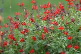 Salvia greggii 'Furman's Red' Autumn Sage 'Furman's Red' - 5 Gallon