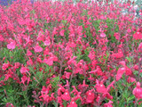 Salvia greggii 'Pink' Autumn Sage 'Pink' - 5 Gallon