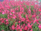 Salvia greggii 'Pink' Autumn Sage 'Pink' - 5 Gallon