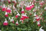Salvia microphylla 'Hot Lips' - 5 Gallon