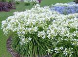 Agapanthus africanus 'Albus' White Lily of the Nile - 5 Gallon
