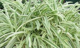 Agapanthus 'Tinkerbell' Dwarf Variegated Lily of the Nile - 5 Gallon