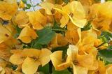 Bougainvillea 'California Gold' ('Sunset') Bougainvillea Gold (Vine Type) - 5 Gallon