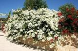 Bougainvillea 'Jamaica White' Bougainvillea White with Pink Blush (Vine Type) - 5 Gallon