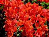 Bougainvillea 'Orange King' Bougainvillea Orange (Vine type) - 5 Gallon