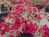 Bougainvillea 'Raspberry Ice' ('Hawaii') Bougainvillea Red Flwr. w/Varieg. Leaves(Bush Type) - 5 Gallon