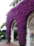 Bougainvillea Brasiliensis - Bougainvillea Purple (Vine Type) - 15 Gallon