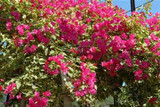 Bougainvillea 'Raspberry Ice' ('Hawaii') Bougainvillea Red Flwr. w/Varieg. Leaves(Vine Type) - 15 Gallon