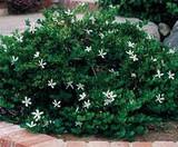 Carissa macrocarpa Natal Plum - 5 Gallon
