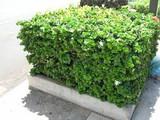 Carissa macrocarpa Natal Plum - 15 Gallon