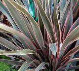 Phormium 'Pink Stripe' New Zealand Flax 'Pink Stripe' - 5 Gallon