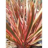 Phormium 'Maori Queen' ('Rainbow Queen') New Zealand Flax 'Maori Queen' ('Rainbow Queen') - 5 Gallon