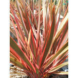 Phormium 'Maori Queen' ('Rainbow Queen') New Zealand Flax 'Maori Queen' ('Rainbow Queen') - 15 Gallon