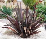 Phormium tenax 'Atropurpureum' ('Bronze')('Purpureum') New Zealand Flax tenax 'Atropurpureum'  - 5 Gallon