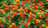 Lantana 'Radiation' Lantana Orange - 5 Gallon