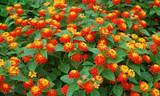 Lantana 'Radiation' Lantana Orange - 5 Gallon
