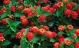 Lantana Dallas Red - 5 Gallon