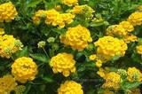 Lantana Yellow - 5 Gallon