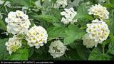 Lantana White - 5 Gallon