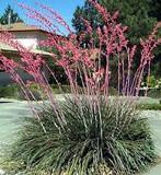 Hesperaloe parviflora Red Yucca - 5 Gallon