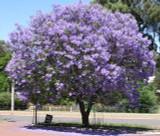 Jacaranda mimosifolia (J. acutifolia) - 15 Gallon Standard