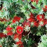 Callistemon 'Little John' Dwarf Bottlebrush - 5 Gallon
