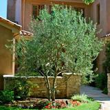 "Olea europaea 'Wilsoni' Fruitless Olive - 24"" Box"