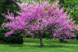 "Cercis canadensis 'Forest Pansy' Eastern Redbud 'Forest Pansy' - 24"" Box"