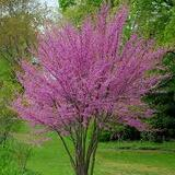 "Cercis occidentalis  Western Redbud Low Branch - 24"" Box"