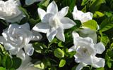 Gardenia 'Mystery' - 5 Gallon