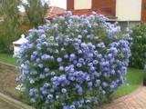 Plumbago auriculata 'Imperial Blue' - 5 Gallon