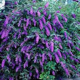 Buddleja davidii 'Black Knight' Butterfly Bush - 5 Gallon