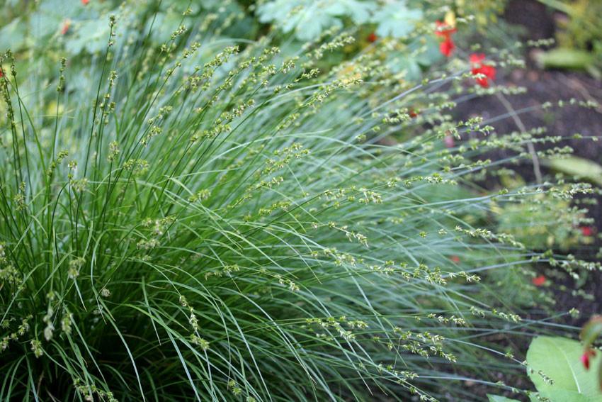 Picture of Live Berkeley Sedge aka Carex tumulicola (divulsa) Plant Fit 1 Gallon Pot