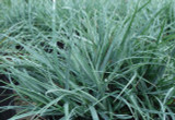 Carex glauca (C. flacca) - Blue Sedge - 5 Gallon