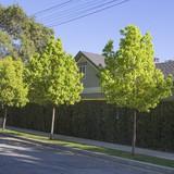 Cinnamomum camphora - Camphor Tree - 15 Gallon Standard