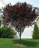 Prunus cerasifera ' Flowering Plum ' - 15 Gallon
