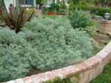 Artemisia 'Powis Castle' - 5 Gallon