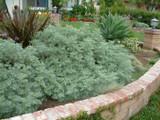 Artemisia 'Powis Castle' - 5 Gallon