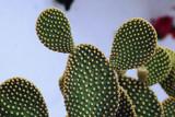 Opuntia microdasys (Bunny Ears Cactus) - 5 Gallon