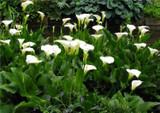 Zantedeschia aethiopica (Calla lily) - 5 Gallon