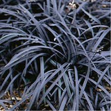Ophiopogon planiscapus 'Nigrescens' - Black Mondo Grass - 1 Gallon