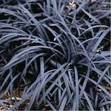 Ophiopogon planiscapus 'Nigrescens' - Black Mondo Grass - 1 Gallon