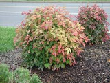 Nandina Domestica Nana 'Heavenly Bamboo Nana' - 5 Gallon