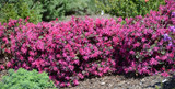 Loropetalum chinense var. rubrum 'Plum Delight' - 15 Gallon