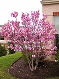 "Magnolia x soulangeana 'Saucer Magnolia' - 24"" Box"