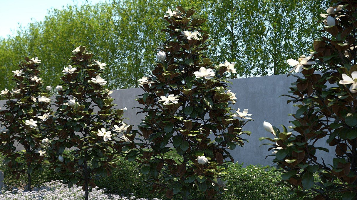 Magnolia Grandiflora Little Gem Low Branch 24 Quot Box
