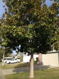 """Magnolia grandiflora 'Southern Magnolia' Standard - 24"""" Box"""